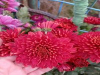 Хризантема Compie Red