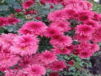 Хризантема Ред