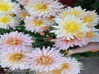 Хризантема Лелия
